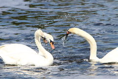 Swans fighting. Three swans fighting in the water with splashing Royalty Free Stock Photos
