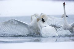 Swans fighting and biting. Each other royalty free stock photography