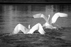 Swans. Fighting and starting to fly Royalty Free Stock Photography