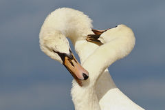 Swans fighting Royalty Free Stock Images