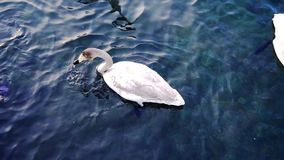 Top view to swan in lake. Swans finds eat underwater in altay lake, russia stock footage