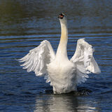 Swans flapping its wings. Swan raising out of the water flapping wings. Wings stretched out like an angel stock photo