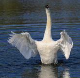 Swans flapping its wings. Swan raising out of the water flapping wings. Wings stretched out like an angel royalty free stock photos