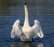 Swans flapping its wings. Swan raising out of the water flapping wings. Wings stretched out like an angel stock photos