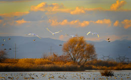 Swans in flight Stock Images