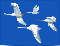 Swans on flight stock images