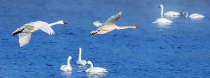 Swans in Flight. Trumpeter Swans in flight as well as resting Royalty Free Stock Photos