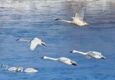 Swans in Flight. Trumpeter swans flying across the Mississippi River Stock Photo