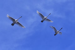 Swans in Flight. Trumpeter swans flying above the Mississippi River Royalty Free Stock Photo