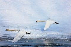 Swans in flight Stock Image