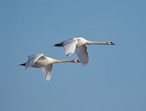 Swans in flight. Swans flying against clear blue sky Royalty Free Stock Photo