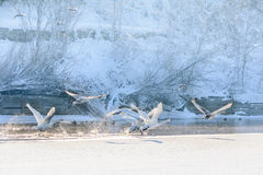 Swans in flight over frozen water. Winter landscape with swans f Royalty Free Stock Image