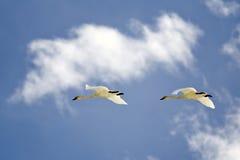 Swans in Flight Royalty Free Stock Photos