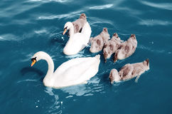 Swans float Royalty Free Stock Image