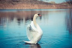 Swans float on the lake Royalty Free Stock Images