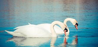 Swans float on the lake Stock Photos