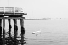 Swans floating by the pier. Serene scene from pier in Sopot, Poland Stock Image