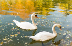 swans floating in a pond autumn Stock Photo