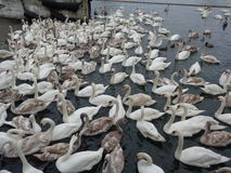 Swans. Flock of swans Baltic Sea Stock Photo