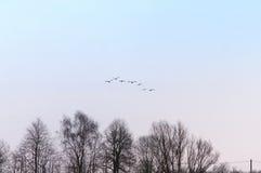 Swans, flock, birds, sky, fly, head Stock Images
