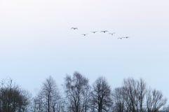 Swans, flock, birds, sky, fly, head royalty free stock photos