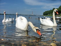 Swans. А flock of swans in Riga royalty free stock image
