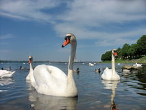 Swans. А flock of swans in Riga stock images