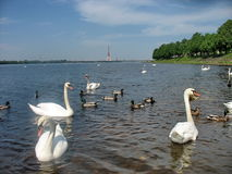 Swans. А flock of swans in Riga royalty free stock images