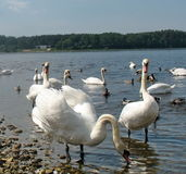 Swans. А flock of swans in Riga stock photo