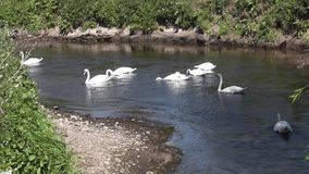 Swans stock video