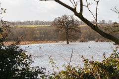 Swans in flooded fields Royalty Free Stock Photo