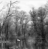 Swans. On the flooded forest Royalty Free Stock Image
