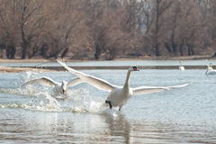 Swans fly Royalty Free Stock Photo