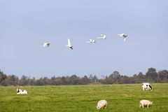 Swans fly over green meadow with sheep and cows in holland Stock Photo