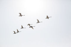 Swans flying. Trumpeter swans flying V formation sky birds beak wings clouds Royalty Free Stock Images