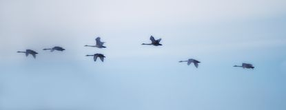 Swans flying Stock Images