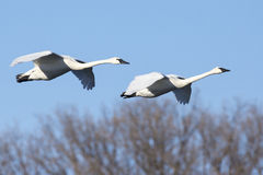 Swans flying agist blue sky. Two swans flying on clear day stock photos