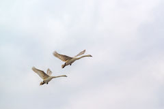 Swans Flying Royalty Free Stock Photos