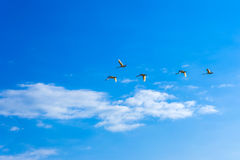 Swans flying in a blue sky with clouds. Swans flying in a blue sky Stock Photo