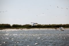 Swans flying in danube delta landscape Stock Image