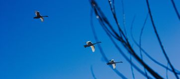 Swans flying in formation back to home from south with sticks in shot royalty free stock images