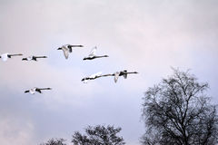 Swans flying Royalty Free Stock Image