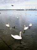 Swans and Flying Pidgeon in the Marina of Ouchy, Lausanne Stock Photo