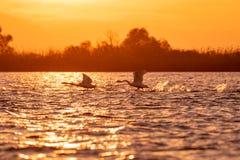 Swans flying at sunset in Danube Delta , Romania wildlife bird watching stock image