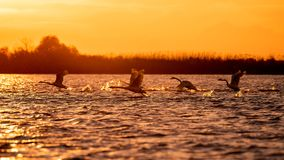 Swans flying at sunset in Danube Delta , Romania wildlife bird watching royalty free stock photos