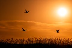 Swans flying at sunset in Danube Delta , Romania wildlife bird watching royalty free stock image