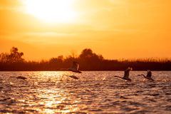 Swans flying at sunset in Danube Delta , Romania wildlife bird watching stock photography