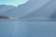 Swans flying. Three swans taking off in the Hallstatt lake Stock Image