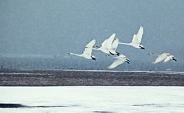 Swans flying in weihai, shandong province stock photo