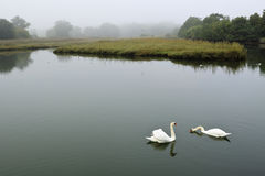 Swans on a Foggy Morning Stock Images